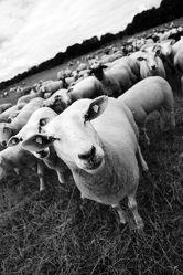 Schafe Schwarz Weiß