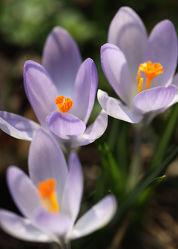 Bild mit Blumen, Blumen, Frühling, Blume, Blüten, Krokusse, Krokus, Schwertliliengewächse, Frühlingszeit