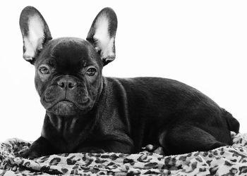 Französische Bulldogge Schwarz WeiÃ? Bild