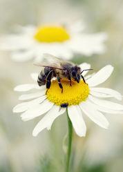 Biene auf der Kamillewiese