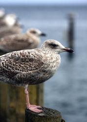 Bild mit Tiere, Vögel, Möwen, Ostsee, Tier, Möwe, Möve, Ostseebilder, Möven