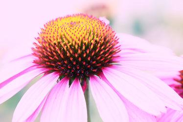 Bild mit Blumen, Korbblütler, Sonnenhüte, Sommer, Blume, Makro, Sommerhut