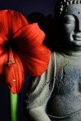 Amaryllis Buddha