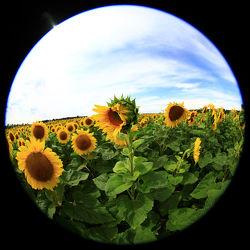 Sonnenblume 23