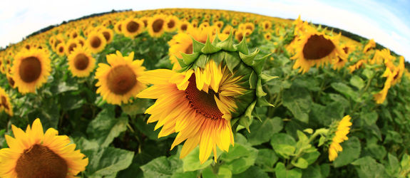 Sonnenblume 25
