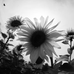 Bild mit Pflanzen, Blumen, Sommer, Sonnenblumen, Blume, Pflanze, Flower, Flowers, Sonnenblume, Sunflower, schwarz weiß, summer, SW, Blumenbild