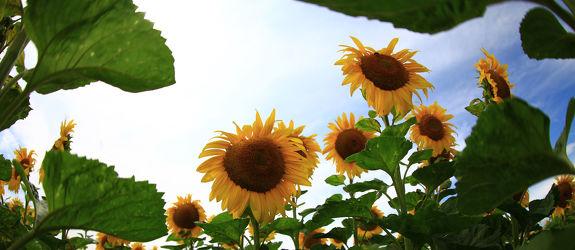 Bild mit Pflanzen, Blumen, Sommer, Sonnenblumen, Blume, Pflanze, Flower, Flowers, Sonnenblume, Sunflower, summer, Blumenbild