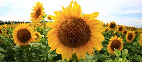Sonnenblume 43
