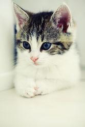 Bild mit Tiere, Tier, Katze, Kätzchen, hauskatzen, hauskatze, heimkatze, heimkatzen