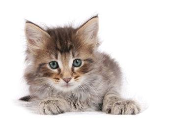 Bild mit Tiere, Katzen, Tier, Katze, Tierisches, Kater, kitty, Katzenbaby, waldkatze, waldkatzen