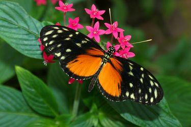 Schmetterling in Orange