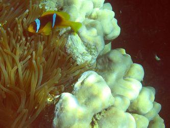 Rotmeer-Anemonenfisch