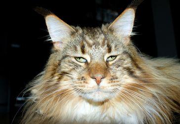 Main Coon - Katze