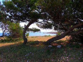 Blick durch Pinienbäume