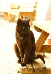 Bombay-Katze