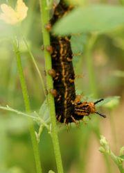 Die Raupe eines tropischen Schmetterlings