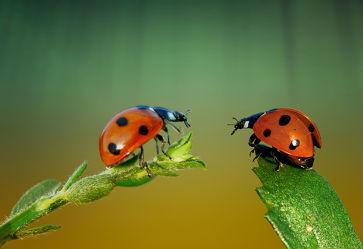 2 Käferchen