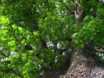 unterm Kastanienbaum