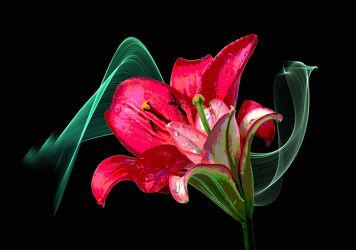 Bild mit Blumen, Blume, Lilie, Lilien, Floral, liliengewächse, Blüten, Florales, blüte, Lilienblüte