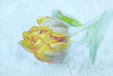 Bild mit Kunst, Pflanzen, Zeichnung, Pflanze, Tulpe, Tulpen, Floral, Stilleben, Blüten, Florales, blüte, weich, soft