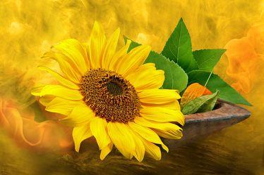 Bild mit Pflanzen, Himmel, Wolken, Blumen, Sonnenblumen, Sonne, Blume, Pflanze, Sonnenblume, Floral, Stilleben, Blüten, Florales, blüte, romantisch