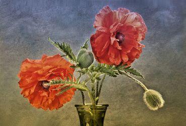 Bild mit Pflanzen, Blumen, Mohn, Mohn, Blume, Pflanze, Floral, Stilleben, Blüten, Florales, blüte, vase, mohnblüten