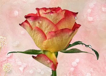 Bild mit Wasser, Pflanzen, Rosen, Pflanze, Rose, Wassertropfen, Floral, Blüten, Florales, Textur, blüte