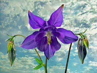 Bild mit Himmel, Wolken, Blume, Floral, Stilleben, Blüten, Florales, blüte, dekorativ, Akelei