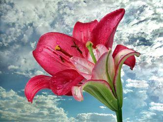 Bild mit Pflanzen, Himmel, Wolken, Blumen, Blume, Pflanze, Wassertropfen, Lilie, Lilien, Floral, Stilleben, Blüten, Blüten, Florales
