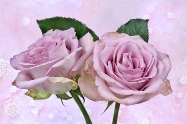 Bild mit Pflanzen, Blumen, Rosa, Rosen, Blume, Pflanze, Rose, Floral, Stilleben, Blüten, Florales, blüte, romantisch, texture, rosee