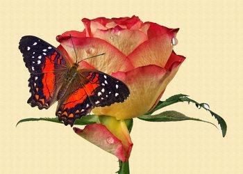 Bild mit Wasser, Blumen, Rosen, Schmetterlinge, Blätter, Blume, Rose, Blatt, Wassertropfen, Floral, Stilleben, Blüten, Florales, Textur, Schmetterling, blüte