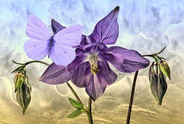 Bild mit Himmel, Wolken, Blumen, Nebel, Blume, Pflanze, Floral, Blüten, Florales, Schmetterling, blüte, Gebirge, Falter, Akelei, akelei blüte