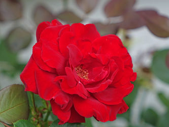 rotes rosenwunder