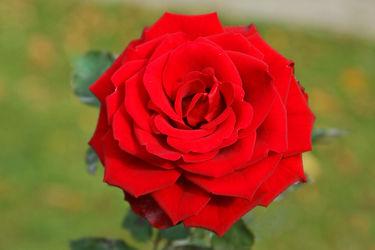 Bild mit Pflanzen, Rosen, Pflanze, Rose, romantik, Blüten, blüte, Liebe