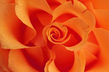 Bild mit Orange, Blumen, Rosen, Blume, Rose, Rosenblüte, romantik, Blüten, blüte, Liebe