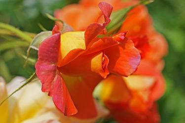 Bild mit Orange, Pflanzen, Blumen, Rosen, Blume, Pflanze, Rose, romantik, Blüten, blüte, Liebe