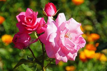 zweig mit rosa rosenblüten