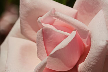 Bild mit Rosa, Rosen, Rose, romantik, Liebe, Love, Knospe, Knospen, Rosenknospe