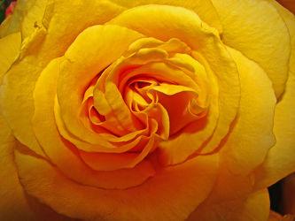 gelbe pracht