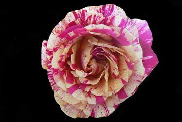 gesprenkelte rose