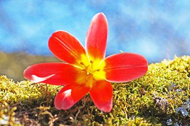 tulpe auf moos gebettet