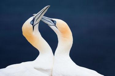 Bild mit Tiere,Vögel,Vögel,Tierisches,Paar,Liebe,Basstölpel,Love,Pärchen