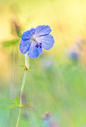Bild mit Natur, Gräser, Blumen, Sonne, Sonnenschein, Blume, Wiese, wiesenblumen, Blüten, Wildblumen, blüte, storchschnabel