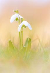 Bild mit Natur, Gräser, Blumen, Blume, Gras, Wiese, Wiesengras, Wildblumen, Wiesen, Schneeglöckchen
