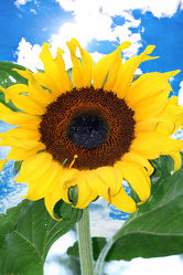 sky sunflower 8