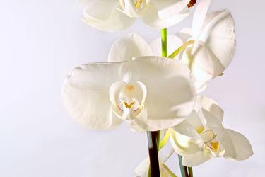 Bild mit Pflanzen,Blumen,Orchideen,Blume,Orchidee,Orchid,Orchids,Orchideengewächse,Pflanze,Orchidaceae,Grammatophyllum speciosum,Tiger Orchidee