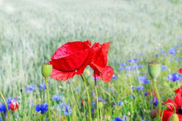 Bild mit Natur, Blumen, Blume, Pflanze, Mohnblume, Poppy, Poppies, Klatschmohn, Mohnfeld, Feld, Mohnblumen, Kornblume, Kornblumen