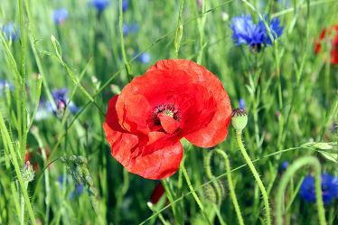 Bild mit Natur, Blumen, Mohn, Blume, Pflanze, Mohnblume, Poppy, Klatschmohn, Mohnfeld, Makro