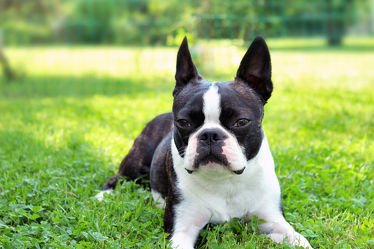 Beauty Boston Terrier