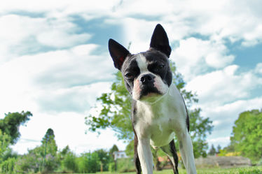 Sweet Boston Terrier